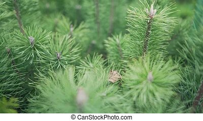 Sapling of a pine close up. Little xmas tree for decoration. Forest growing 4k