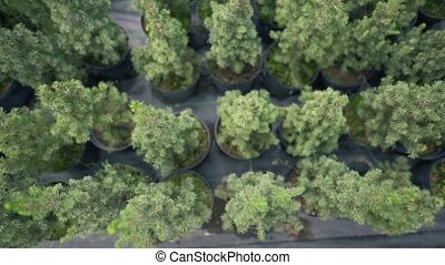 Saplings of fir trees in pots. Eco-business on a local scale. Decorative trees 4k