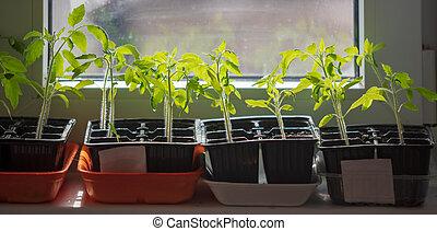 Saplings of tomato on the window