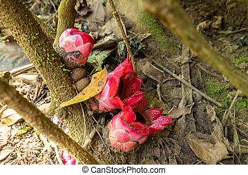 Sapria Himalayana flowers in jungle
