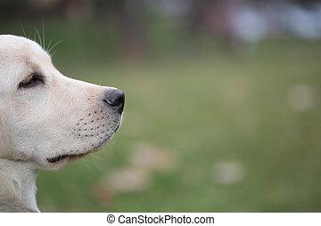 Sara Labrador retriever puppy in the yard - Sara Labrador ...