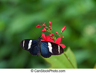 Sara long wing butterfly on red flowers - The Sara longwing ...