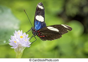 Sara longwing butterfly (Heliconius