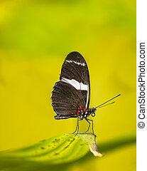 Sara Longwing Butterfly - Sara Longwing butterfly resting on...