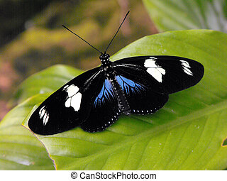 Sara Longwing Butterfly - Sara Longwing (Heliconius sara)...
