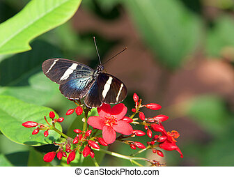 Sara longwing butterfly - The Sara longwing is a colorful ...