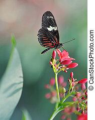 beautiful butterfly - Sara Longwing (Heliconius sara) close ...