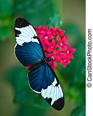 Sara Longwing (Heliconius sara) butterfly on red star...
