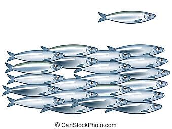 sardine, banc