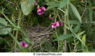 Sardinian Warbler in the nest