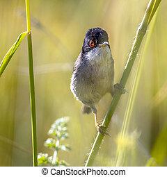 Sardinian warbler perched on grass stem