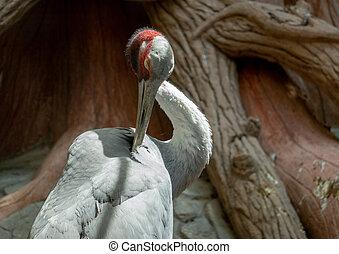 Sarus Crane Preening