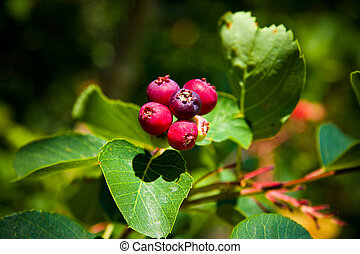 Saskatoon Berry ripens in June and July and has a taste similar to blueberry, is also often made into several types of foodstuffs, including pies, jams, wines and beers.