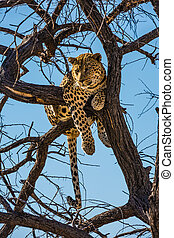 Satisfied leopard resting on a tree
