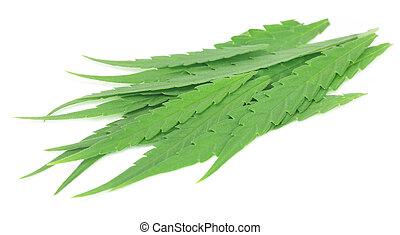 sativa, folhas, marijuana, cannabis, medicinal, ou