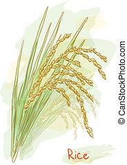 sativa)., (oryza, style., arroz, acuarela