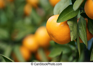 Satsuma; mikan, TV orange, on the tree