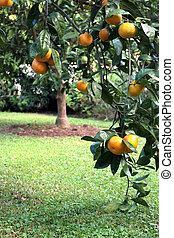 Satsuma or Tangerine Tree in Soft Outdoor Light