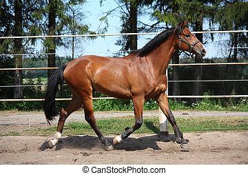 sattelplatz, pferd, traben, bucht