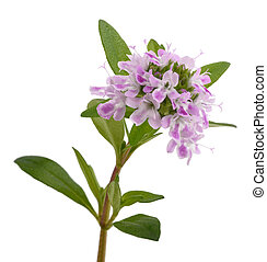 Satureja - Summer savory flowers isolated on white ...