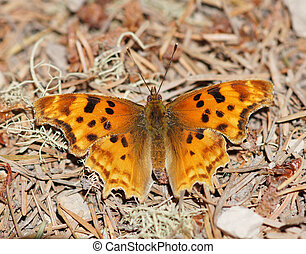 Satyr Comma (Polygonia satyrus) butterfly perched on tree bark and twigs
