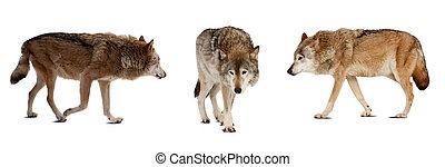 satz, aus, freigestellt, wenige, weißes, wolves.