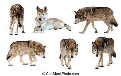 satz, aus, wenige, schatten, wölfe, weißes