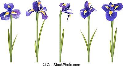 satz, mit, fünf, ausführlich, iris