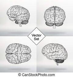 satz, vektor, abbildung, menschliche , brain., der,...