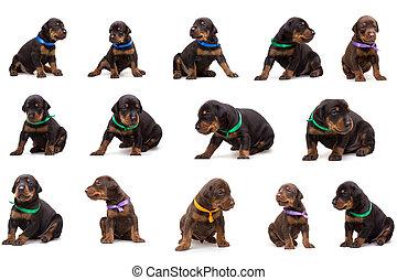 satz, von, dobermann, hund, abfall, hundebabys, in, farbig, bänder