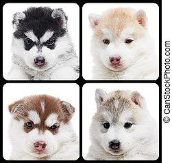 satz, von, sibirischer schlittenhund, junger hund,...