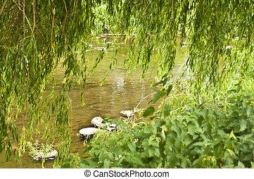 sauce, primavera, río, árbol, por