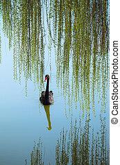 sauce, ramas, y, cisne negro