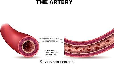 saudável, artéria, anatomia