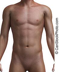 saudável, macho, torso