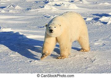 saudável, urso polar, em, a, ártico