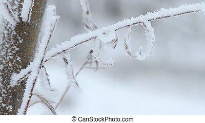 saule, arbre hiver