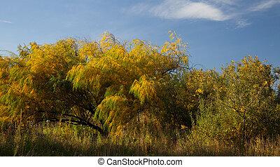 Saule, automne, feuilles