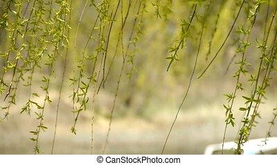 saule, branches, wind., mouvementde va-et-vient
