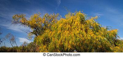 saule, feuilles automne