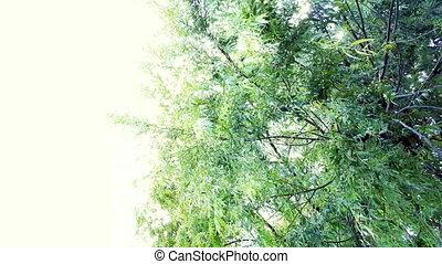 saule, oscillation, branches, vent, soleil., sous, clair, arbre