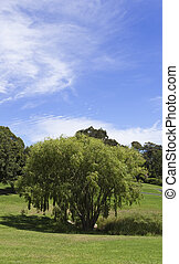 saule, parc, arbre