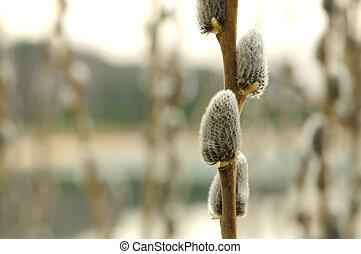 saule, tôt, catkins, printemps