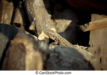 Sauria - Photo of a lizard lying on the logs. Picture taken...