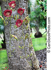 Sausage Tree with Kigelia Africana Flowers in the Fruit and Spice Park