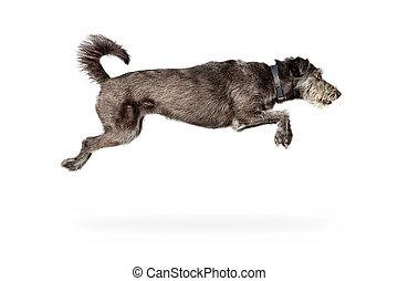 saut, blanc, isolé, chien