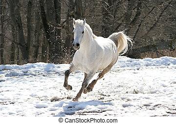 sauter, cheval blanc