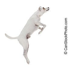 sauter, terrier, jack russell