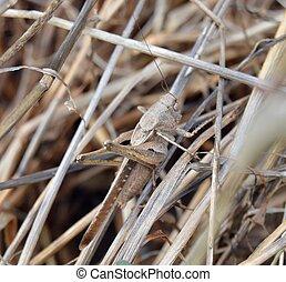 sauterelle, camouflage