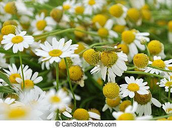 sauterelle, sur, les, camomille, fleur